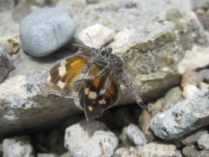 Pictured: Robber Fly feeding on a small orange butterfly