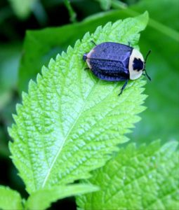 Pictured: Carrion beetle on a green leaf